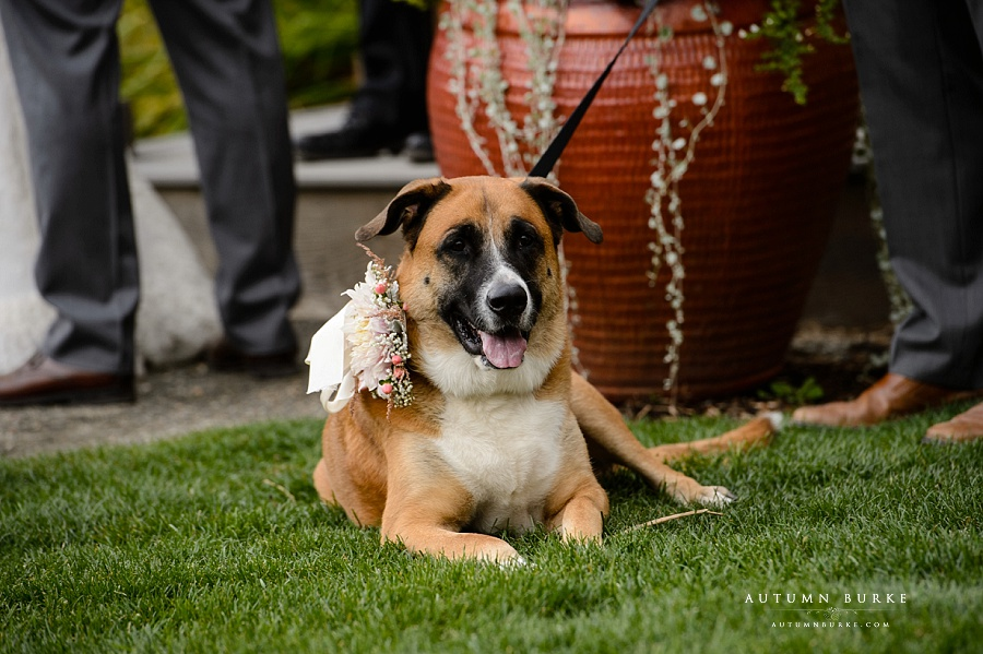 colorado wedding ceremony with dog denver botanic gardens chafield